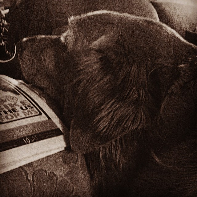 Lap dog. #100happydays