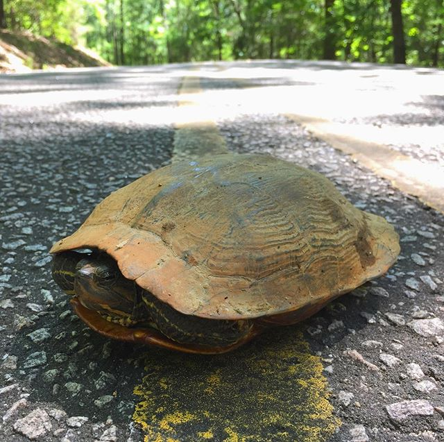 Making sure this old turtle gets to spend the summer chillaxin' by the creek. #chewacla